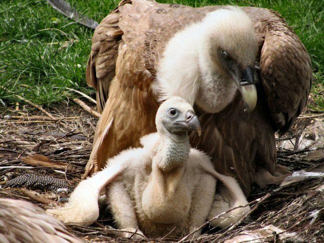 Пташеня білоголового сипа з батьком.