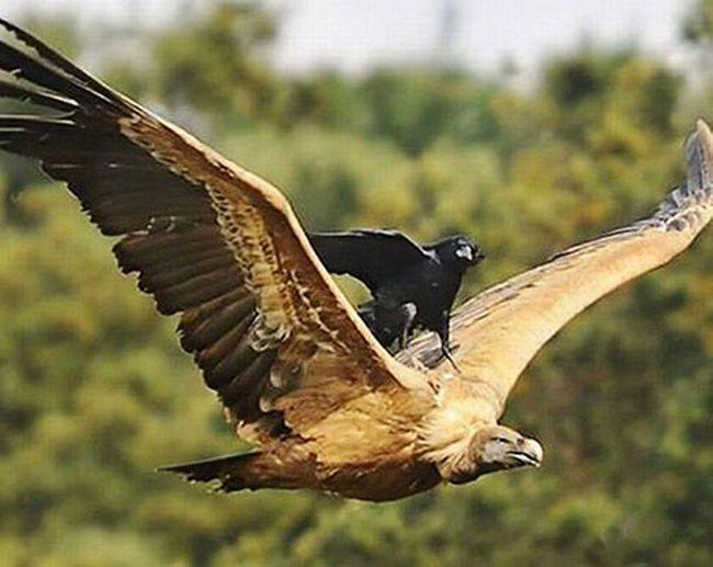 Рідкісний кадр - ворона села на спину летить сипу.