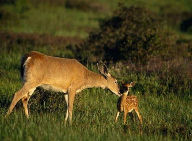 Самка білохвостого оленя і теля.