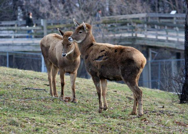 Беломордие олені - досить вправні лазателі. Вони живуть в групах, які часто включають або тільки самців, або тільки дорослих самок з молодняком.