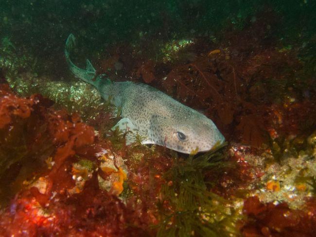 Белоплавніковая головаста котяча акула (Cephaloscyllium albipinnum).