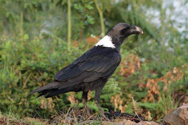 Белощекий ворон (Corvus albicollis).