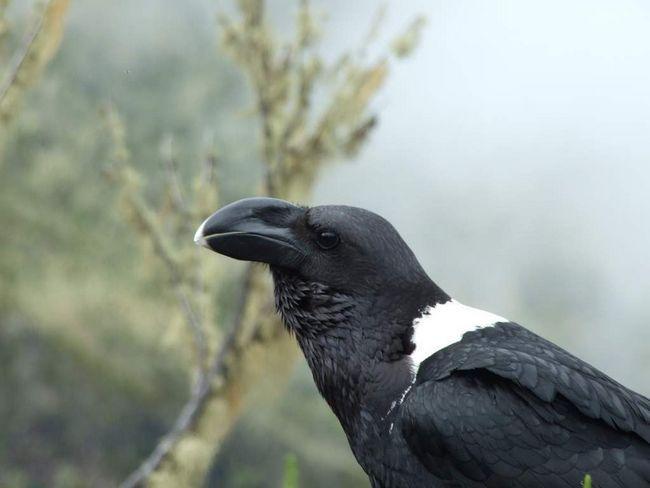 У белощекого ворона сильний дзьоб з особливою будовою.