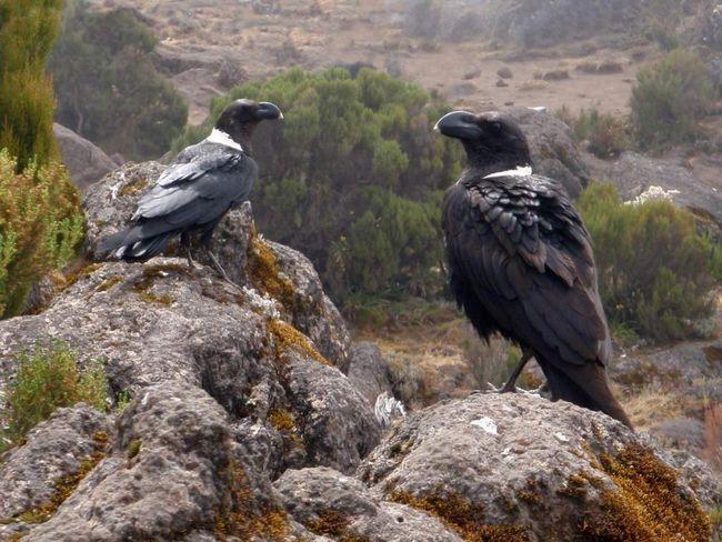 Белощекие ворони можуть імітувати крики інших птахів.