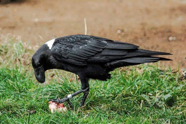 У белощекого ворона різноманітний раціон харчування.