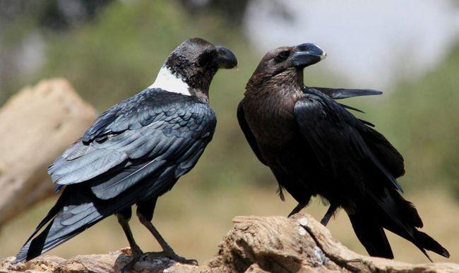У вирощуванні та вихованні пташенят бере участь тільки самка белощекого ворона.