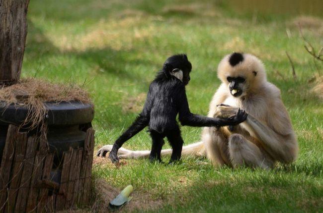 Самець-малюк і самка белощекого чубатих гібонів.
