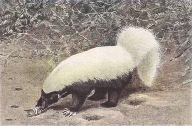 Білоспинний скунс (Conepatus mesoleucus).