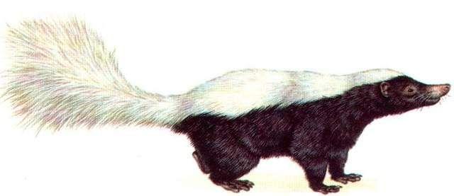Білоспинний скунс відрізняється від інших наявністю великої білої смуги на спинної частини, хвіст теж білий.