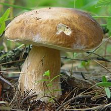 Білі гриби (збираємо білі гриби)