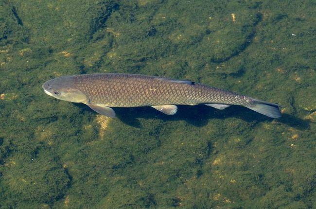 В даний час є об`єктом рибництва в багатьох європейських країнах.