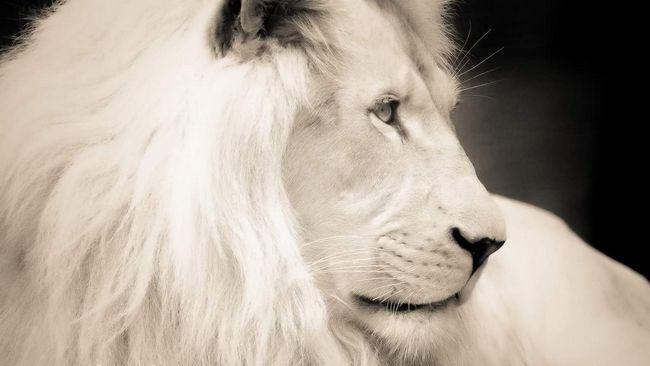 Білий Лев.