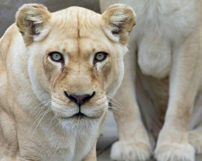 Самка білого лева.