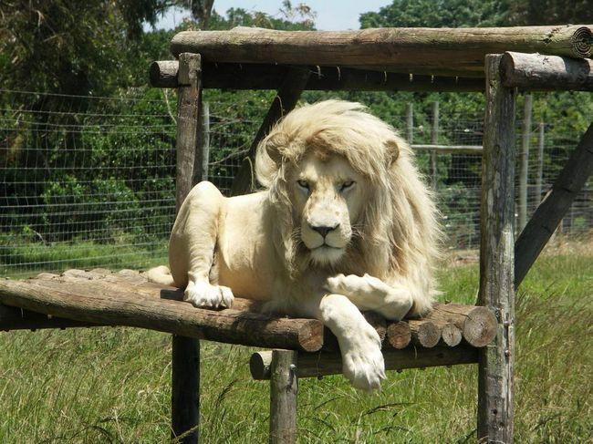 У давні часи білому леву приписувалися містичні властивості.