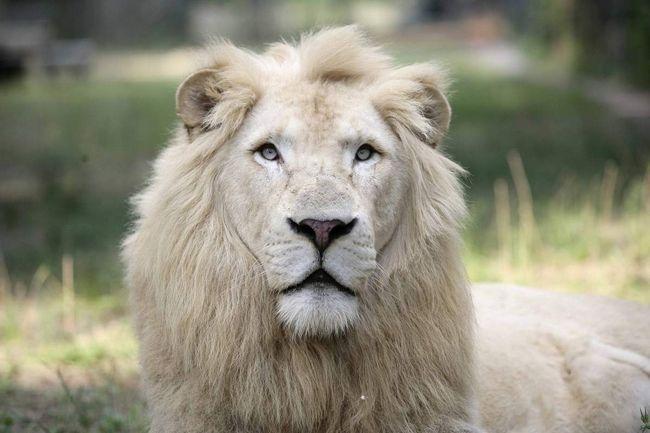 Білий лев - генетична мутація звичайних левів.
