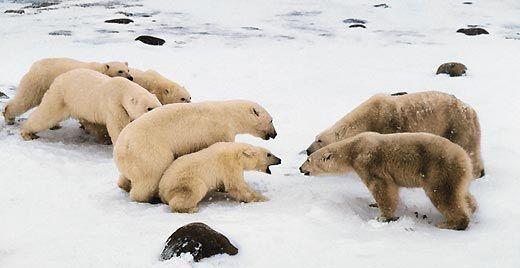 Білий ведмідь вирішив поласувати пташиними яйцями