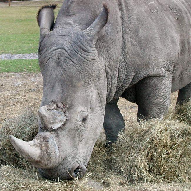 Білий носоріг (Ceratotherium simum).