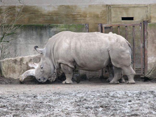 Білі носороги отримали свою назву в результаті непорозуміння мови.