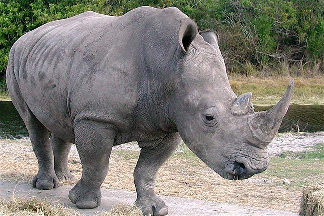 Білі носороги насправді зовсім не білі.