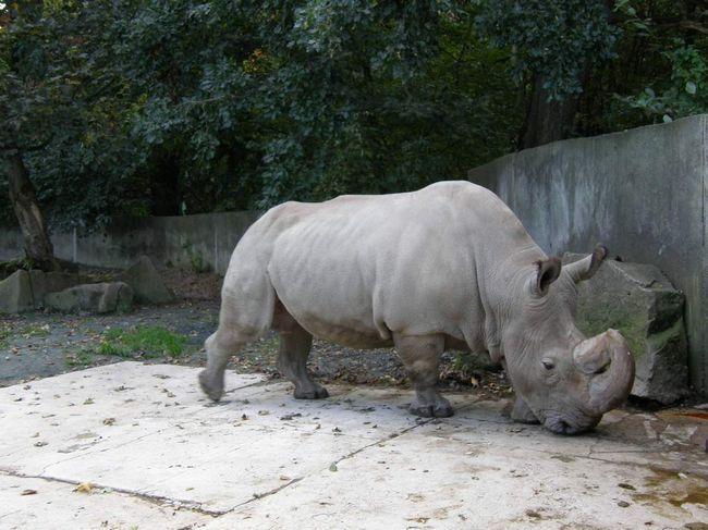 Білий носоріг в зоопарку.