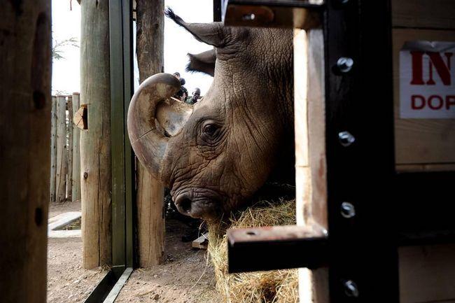 Дитинча білого носорога народився в німецькому зоопарку