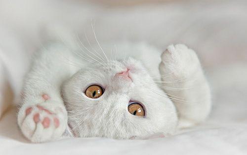 британські кошенята білого забарвлення
