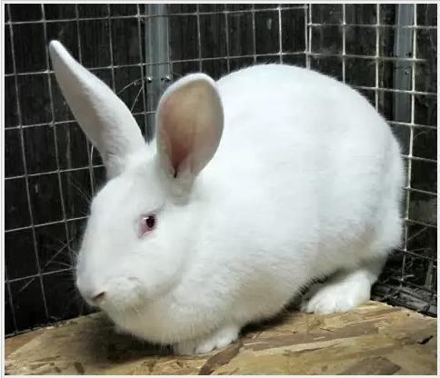 Білий велетень порода кроликів