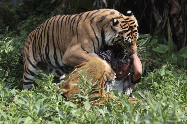Бенгальський тигр поводиться немов домашній пес