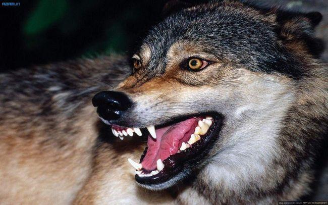 Кінцева стадія захворювання на сказ - смерть тварини.