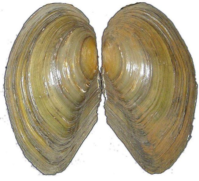 Беззубка відноситься до двостулкових молюсків.