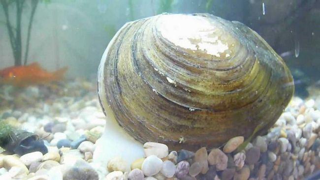 Молюск Беззубка має середні розміри, але зустрічаються особини до 10 сантиметрів в довжину.