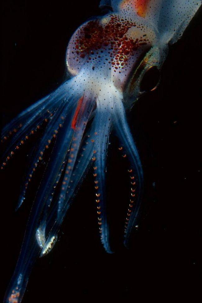 Кальмар роду Abraliopsis