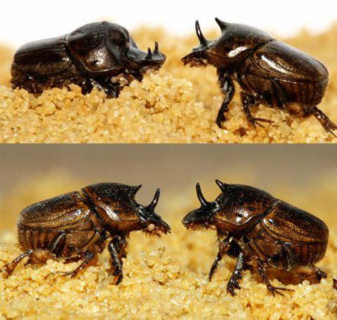 Вгорі: на цьому знімку добре видно різницю рогів у самця (зліва) і самки. Внизу: поєдинок жіночих особин (фото Sean Stankowski).
