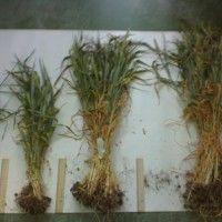 Біологічна врожайність і структура зернових хлібів