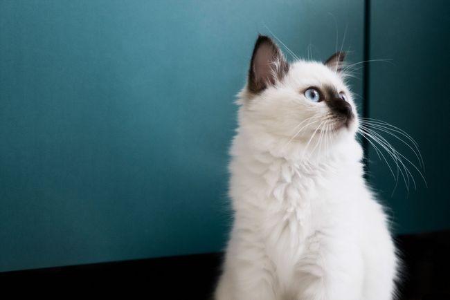 бірманська кішка