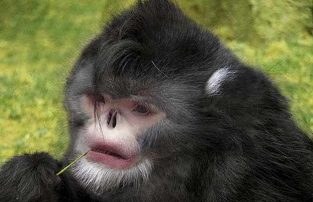 Бірманська кирпата мавпа (лат. Rhinopithecus strykeri)