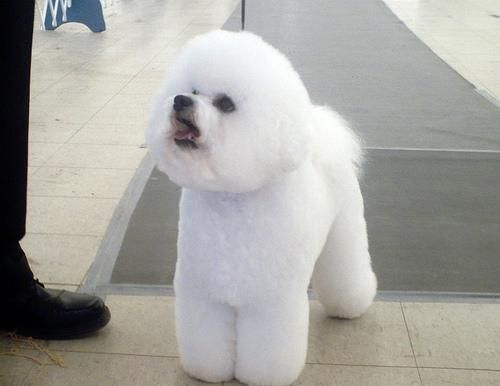 Бішон фрізе (фр. Bichon poil fris ) білосніжна кучерява іграшкова собачка