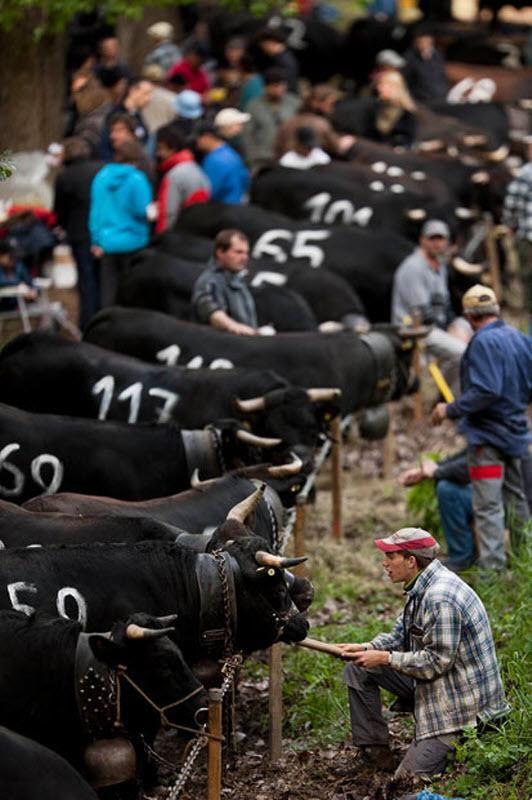 Битва корів - давня традиція в Швейцарії