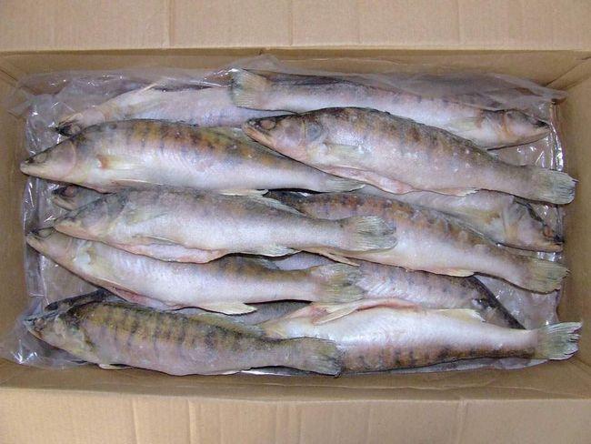 Берш - бажаний видобуток рибалок.