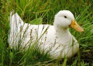 Домашнє утримання м`ясних качок
