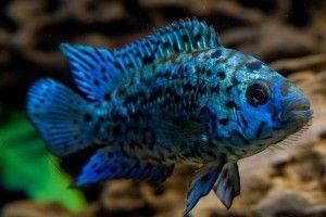 Блю демпсі - мерехтливе чудо акваріума