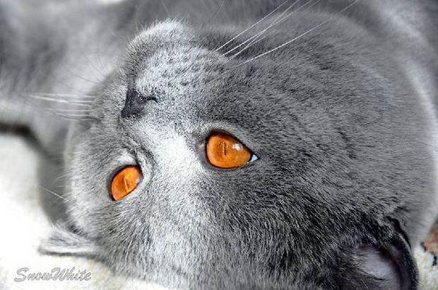 Блохи у кішок: діагностика та позбавлення