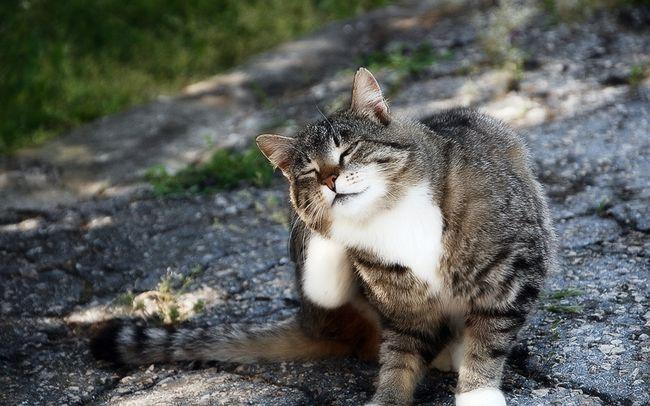 Блохи у кішок - причини, симптоми і лікування