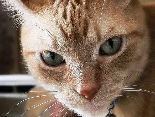 Блохи у кішки: небезпечні для людини?