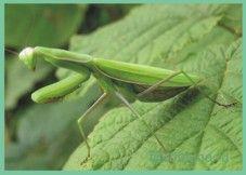 Богомол / mantis religiosa