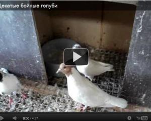 Бійні голуби відео