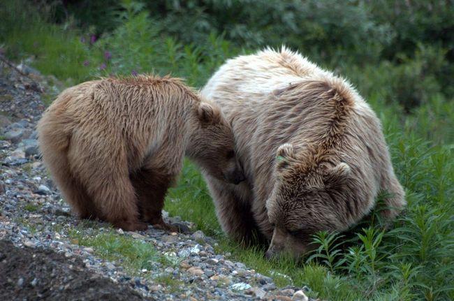 Цікаві факти про бурих ведмедів