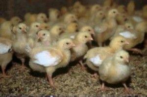 Хвороби курчат бройлерів