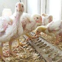Хвороби курчат