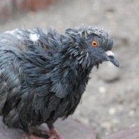 Хвороби голубів